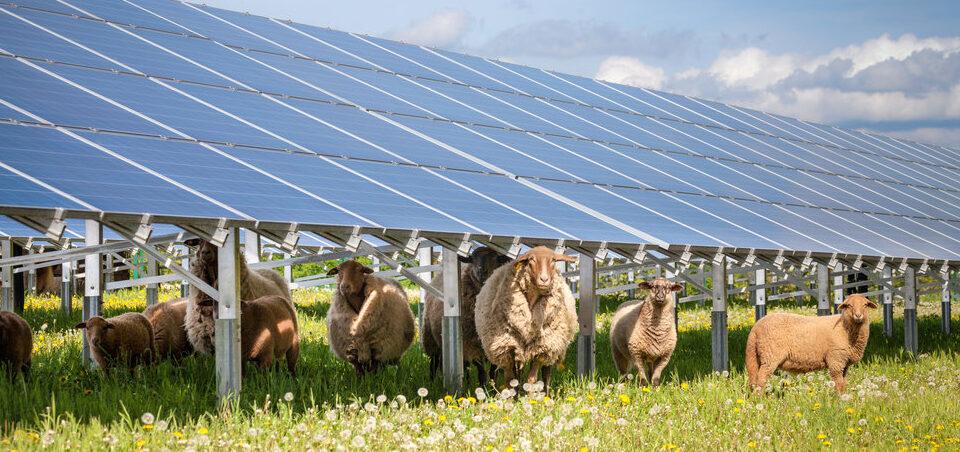 Animales pastando dentro de un parque fotovoltaico